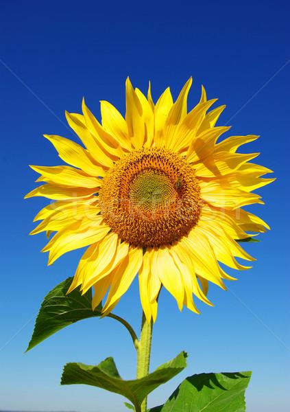 Yellow sunflower Stock photo © Pakhnyushchyy