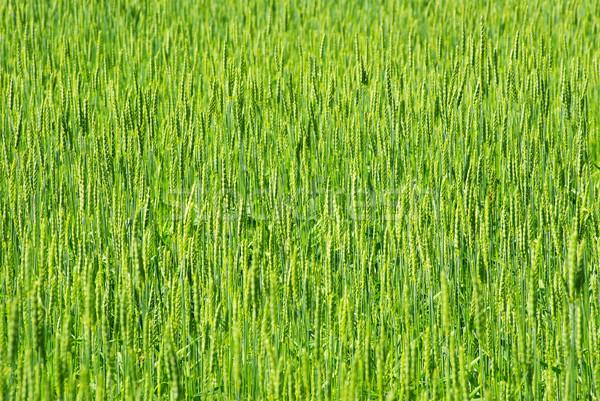 緑 麦畑 ショット 春 草 ストックフォト © Pakhnyushchyy