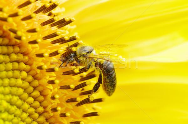 Albină floare floarea-soarelui cer primăvară vară Imagine de stoc © Pakhnyushchyy