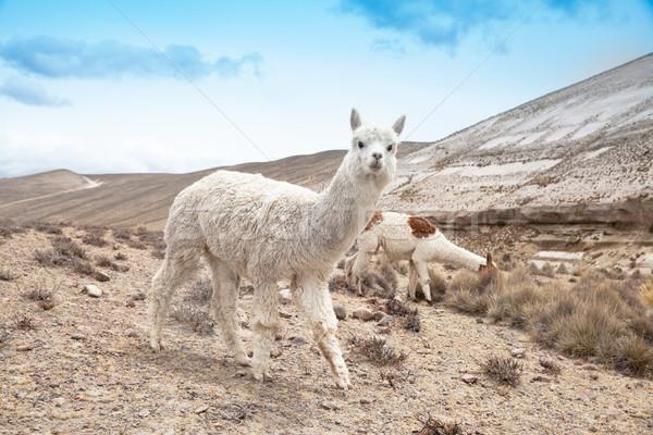 Landschap haren reizen groep dier amerika Stockfoto © Pakhnyushchyy