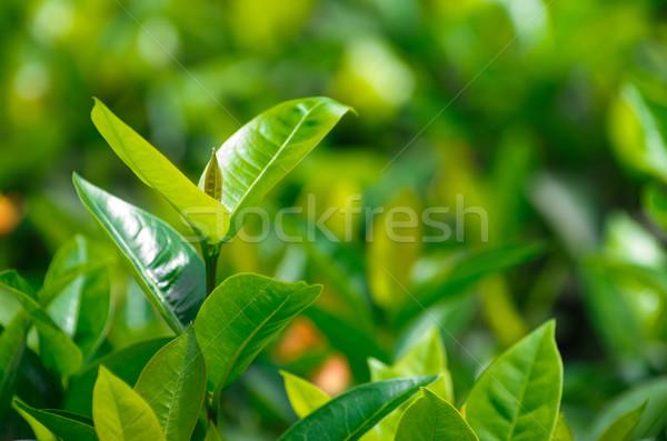 Foto d'archivio: Tè · foglie · tè · verde · bud · fresche · natura