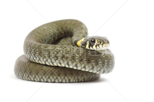 snake  Stock photo © Pakhnyushchyy