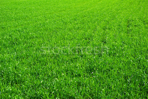lawn  background Stock photo © Pakhnyushchyy