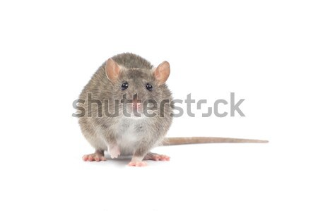 Photo stock: Rat · isolé · blanche · nez · animaux · de · compagnie · cute