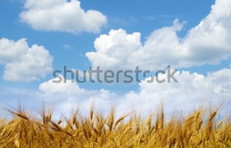 wheat ears  Stock photo © Pakhnyushchyy