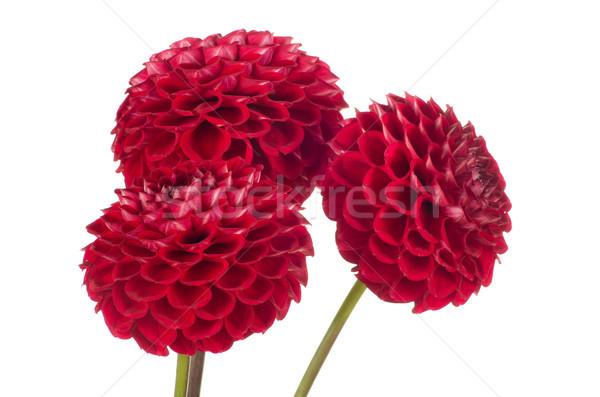 Red dahlia Stock photo © Pakhnyushchyy