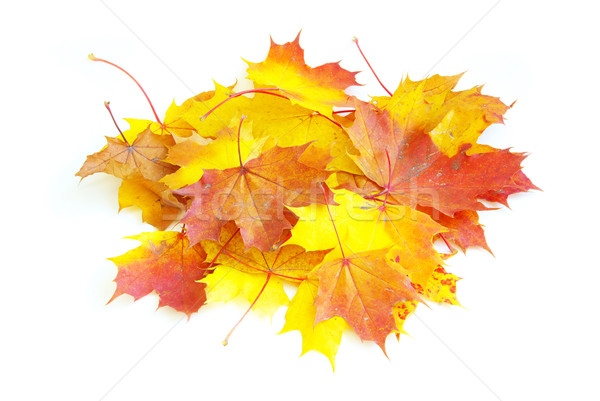 autumn maple leafs Stock photo © Pakhnyushchyy