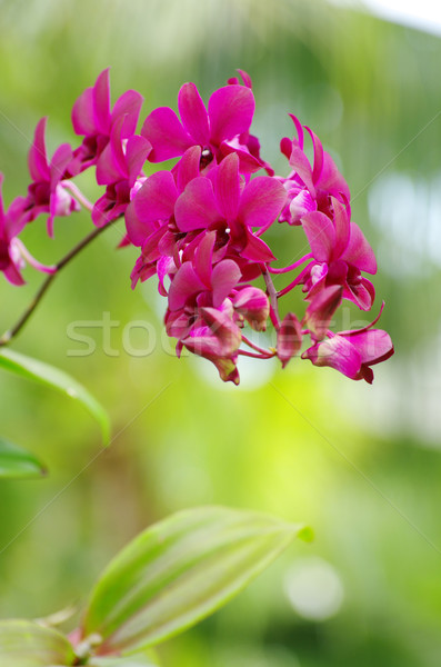 orchid  Stock photo © Pakhnyushchyy