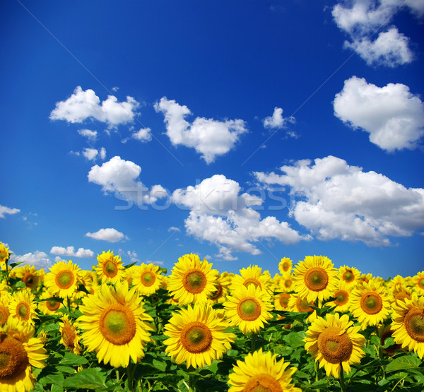 Tournesol domaine nuageux ciel bleu fleur ferme Photo stock © Pakhnyushchyy