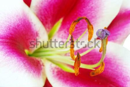 Liliom friss gyönyörű piros virág virág Stock fotó © Pakhnyushchyy