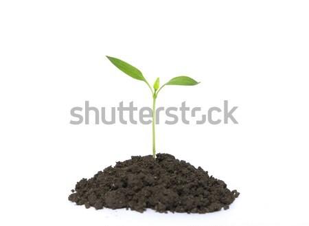 plant on white Stock photo © Pakhnyushchyy