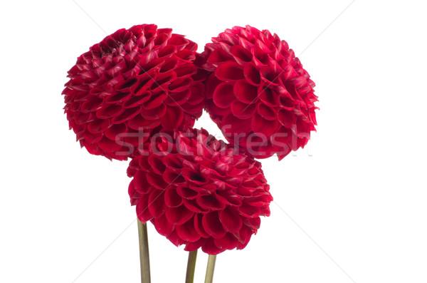 dahlia flower  Stock photo © Pakhnyushchyy