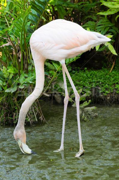 Flamingo imagem quatro natureza preto tropical Foto stock © Pakhnyushchyy