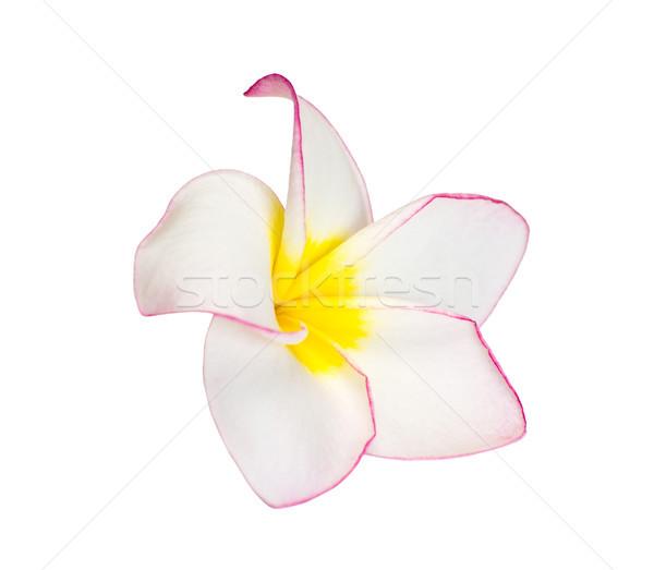 Frangipani flower  Stock photo © Pakhnyushchyy