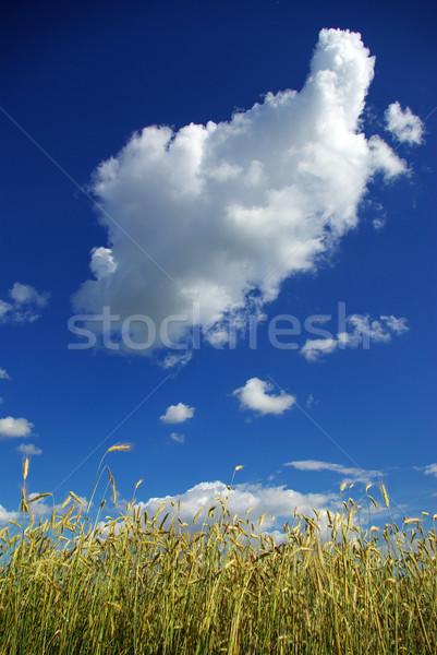 wheat spike on sky Stock photo © Pakhnyushchyy