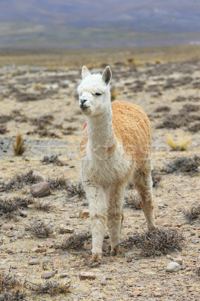 Stock photo: lamas in Andes,Mountains, Peru