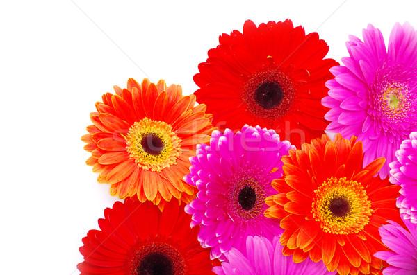 gerbera flower  Stock photo © Pakhnyushchyy