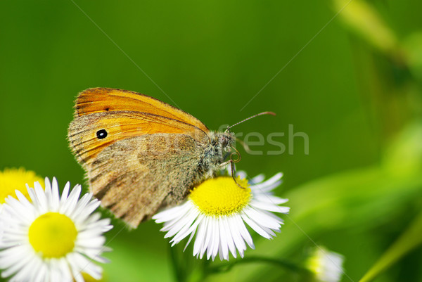butterfly Stock photo © Pakhnyushchyy
