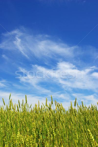 Maíz temprano verano cielo azul hierba espacio Foto stock © Pakhnyushchyy