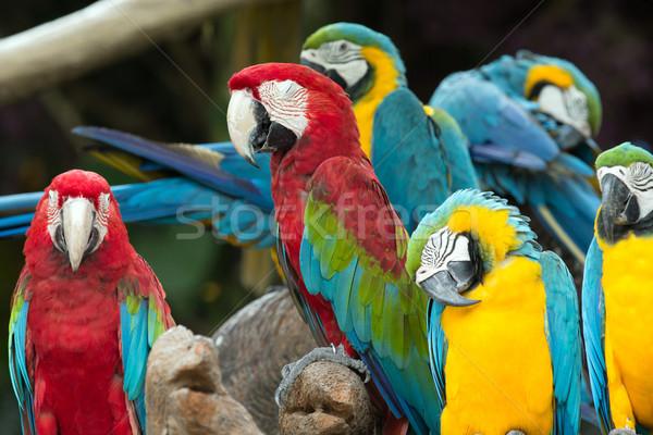parrots Stock photo © Pakhnyushchyy