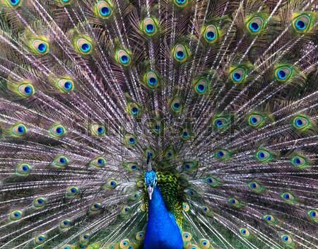 Photo stock: Paon · portrait · fond · danse · oiseau