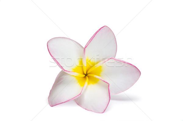 flower frangipani  Stock photo © Pakhnyushchyy