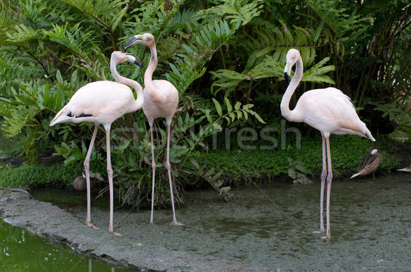 flamingos Stock photo © Pakhnyushchyy