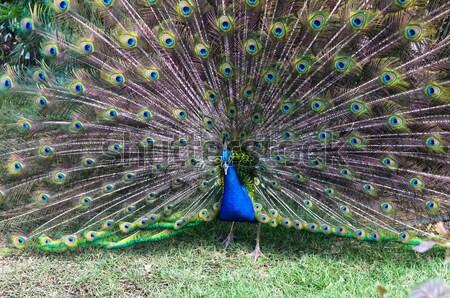Pavão grama verde dança pássaro padrão animal Foto stock © Pakhnyushchyy
