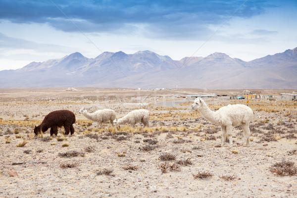 lamas in Andes,Mountains, Peru Stock photo © Pakhnyushchyy
