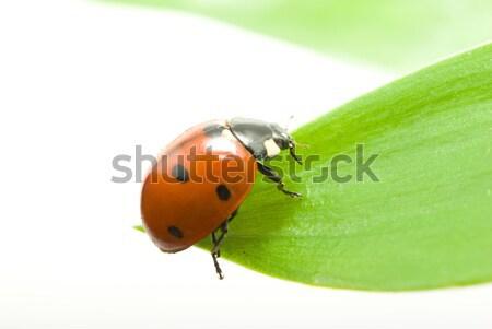 Vermelho joaninha grama verde isolado branco grama Foto stock © Pakhnyushchyy