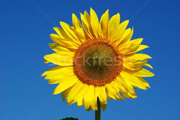 Ayçiçeği sarı yaz mavi gökyüzü çiçekler bahar Stok fotoğraf © Pakhnyushchyy