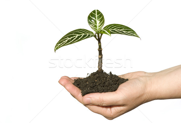 hand holding sapling Stock photo © Pakhnyushchyy