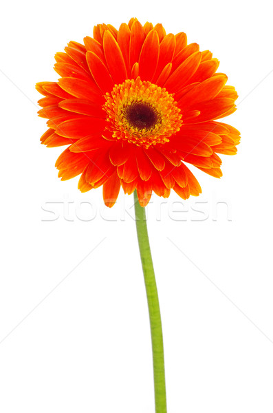gerbera  Stock photo © Pakhnyushchyy