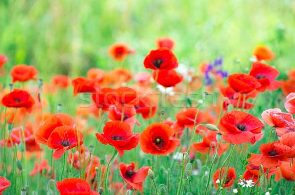 Piros pipacs közelkép gabonapehely mező fű Stock fotó © Pakhnyushchyy