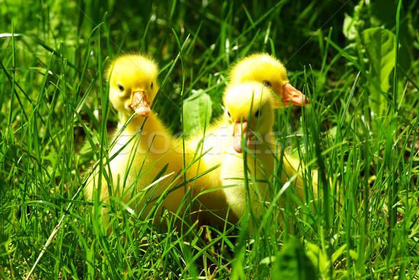 Stock photo:  gosling in grass