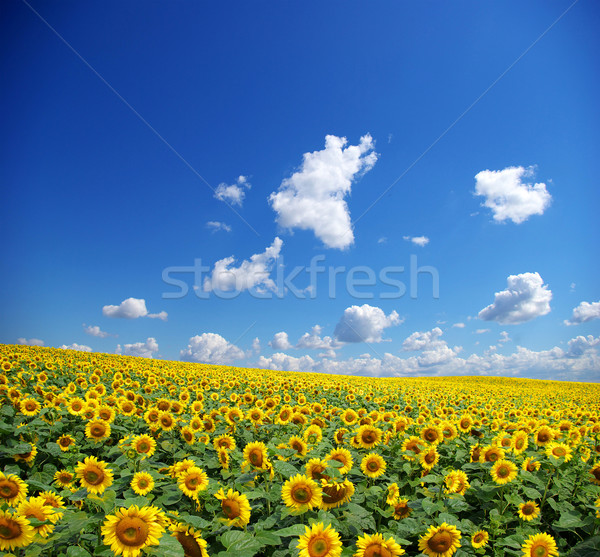 sunflower field Stock fotó © Pakhnyushchyy