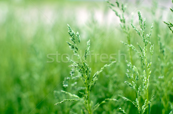 green grass Stock photo © Pakhnyushchyy