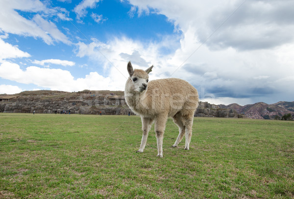 Gökyüzü yüz doğa çiftlik hayat hayvan Stok fotoğraf © Pakhnyushchyy