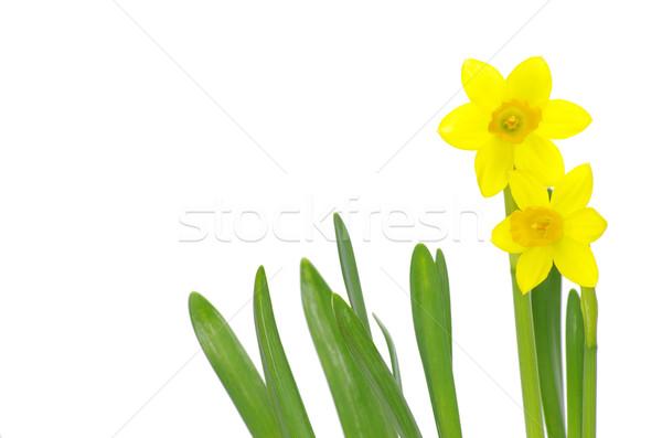 Yellow narcissus  Stock photo © Pakhnyushchyy