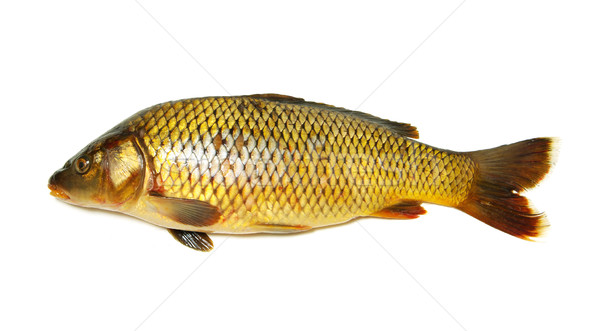 Carpa isolado branco peixe jantar prato Foto stock © Pakhnyushchyy