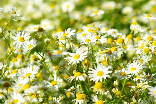 ромашка цветы области трава Сток-фото © Pakhnyushchyy
