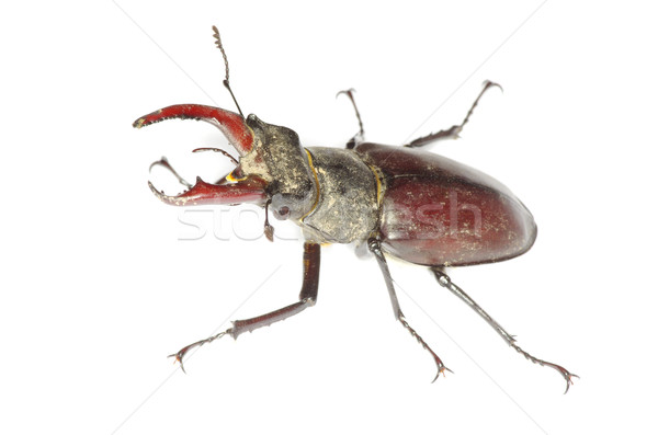 Stag beetle  Stock photo © Pakhnyushchyy