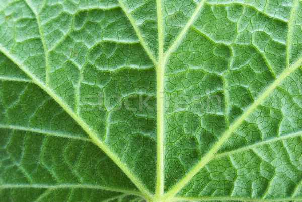 leaf  background Stock photo © Pakhnyushchyy