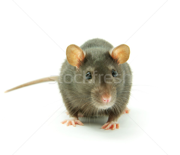 funny rat  Stock photo © Pakhnyushchyy