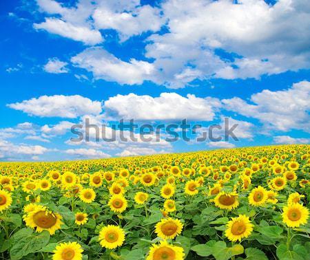 Girasol campo nublado cielo azul flor granja Foto stock © Pakhnyushchyy