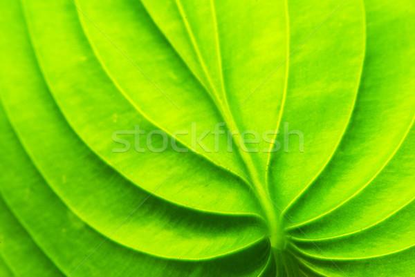 Zöld levél textúra absztrakt természet levél nyár Stock fotó © Pakhnyushchyy