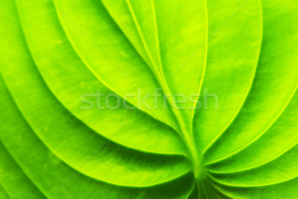 Folha verde textura abstrato natureza folha verão Foto stock © Pakhnyushchyy