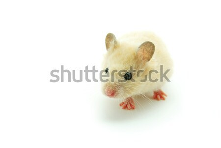 hamster  Stock photo © Pakhnyushchyy