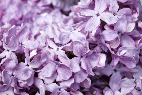 lilac flowers Stock photo © Pakhnyushchyy