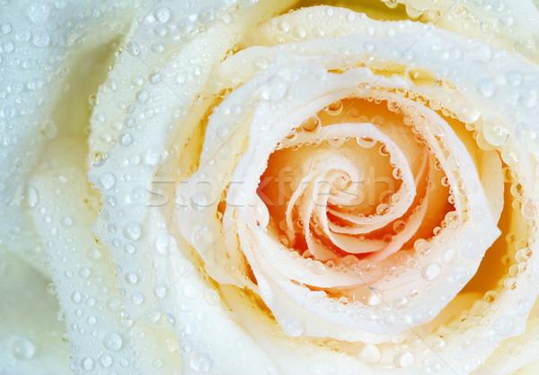 白 バラ マクロ 水滴 花 背景 ストックフォト © Pakhnyushchyy